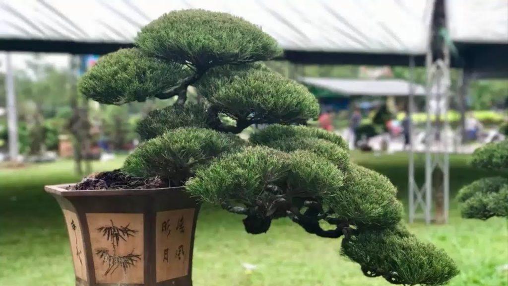 cây cảnh mừng thọ